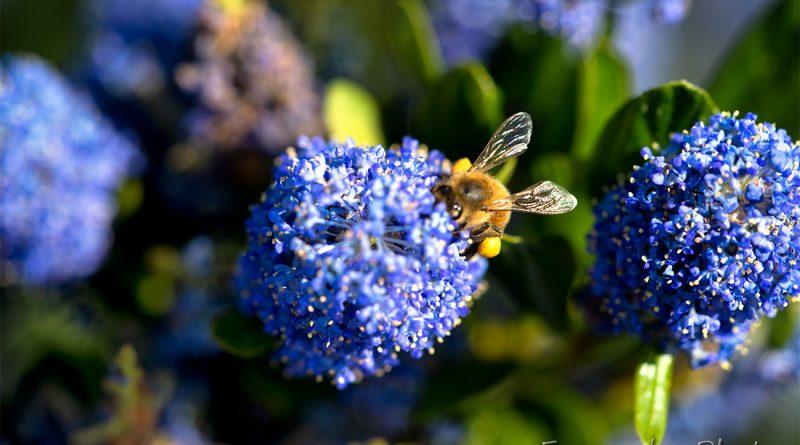 Céanothe et abeille en juin