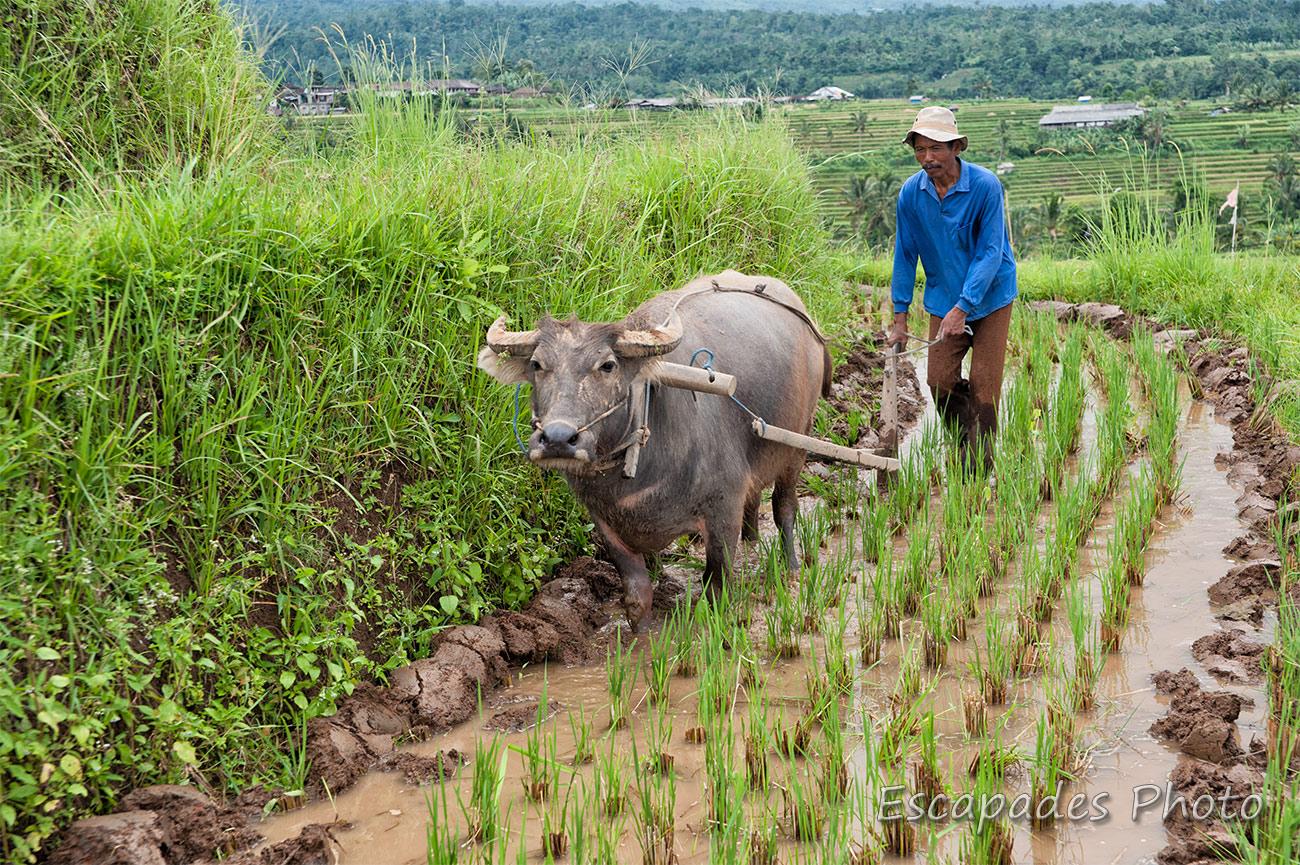 Dans les rizières de Jatiluwih, le buffle asiatique est un travailleur infatigable