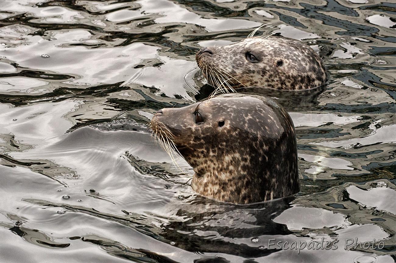 Phoques gris en duo à Océanopolis