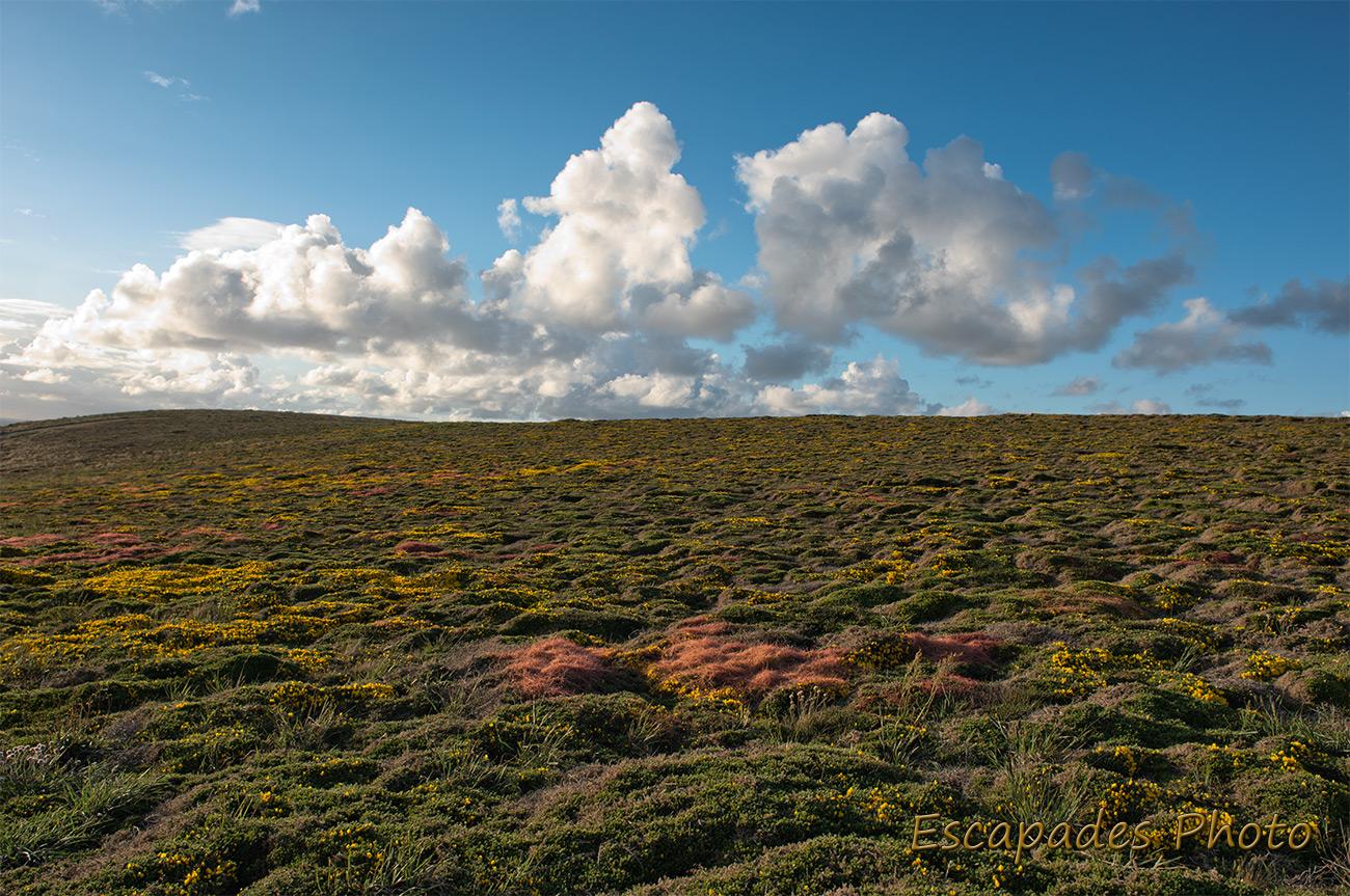 Pointe du Van - Ajoncs en fleurs au soleil déclinant