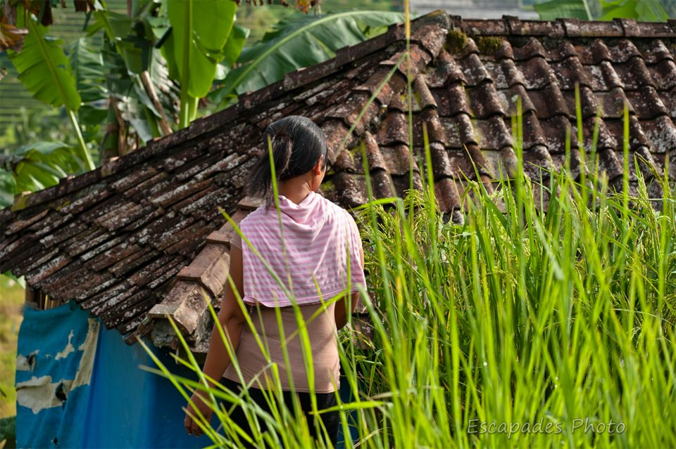 Jatiluwih, la gardienne de la rizière
