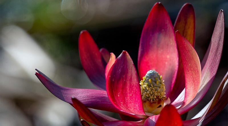 Leucadendron en fleur - Bretagne