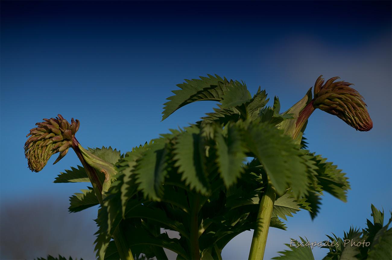 Melianthus major : Le port buissonnant et les feuilles découpées