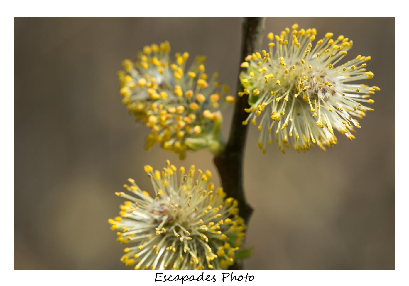 Fleur de saule marsault mâle