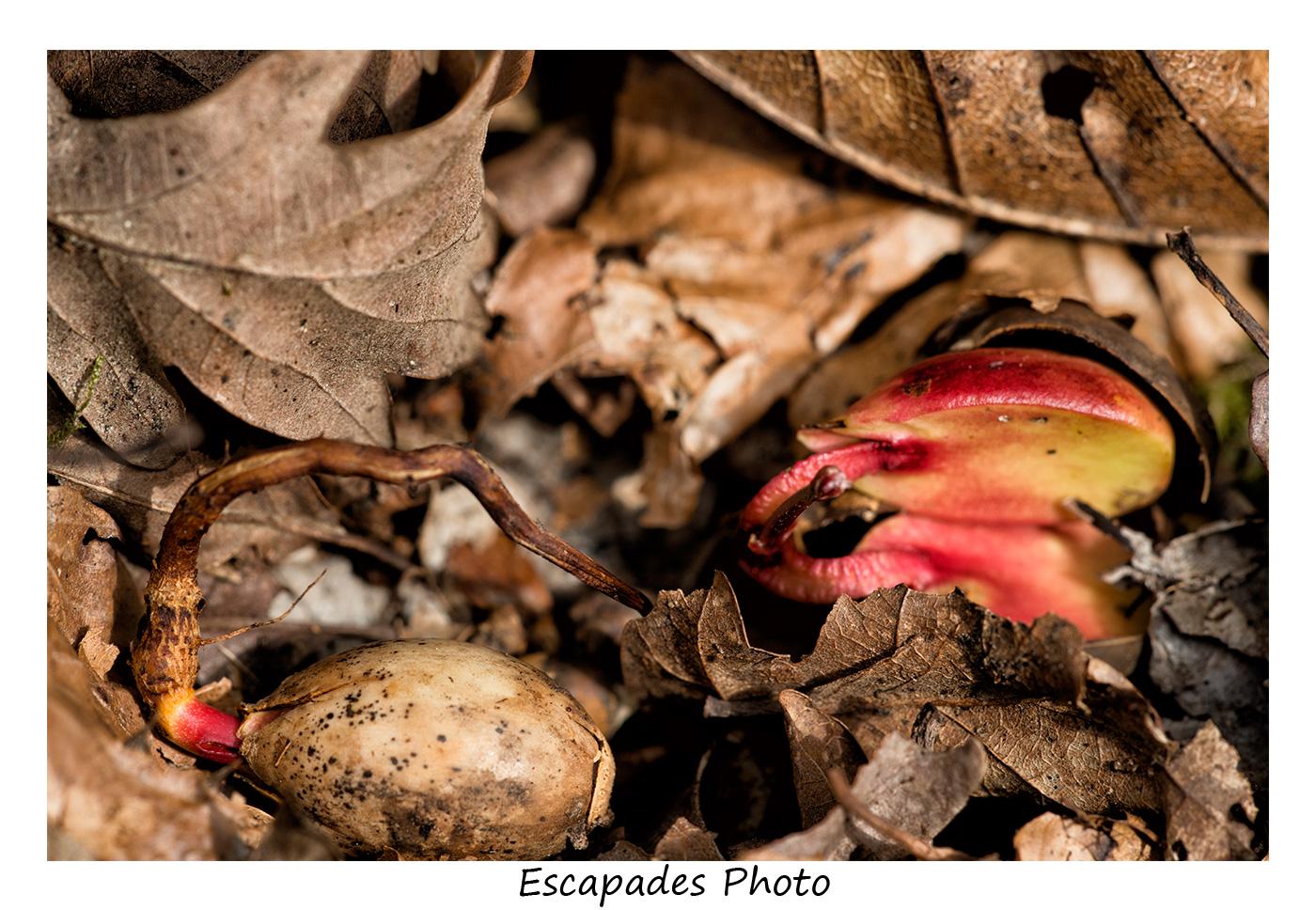 Glands de chêne pédonculé en cours de germination