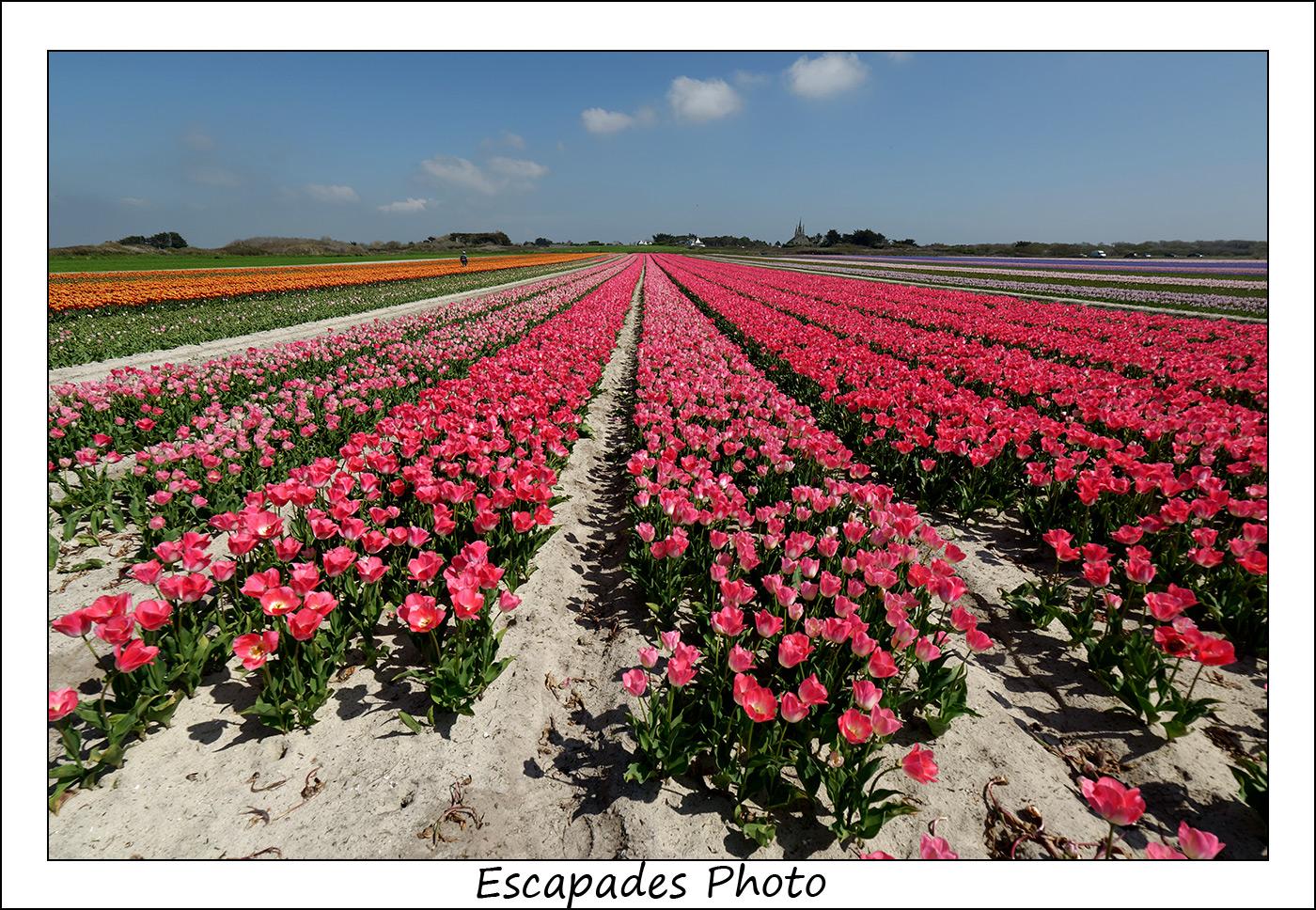 Tulipes en fleur à Tronoën