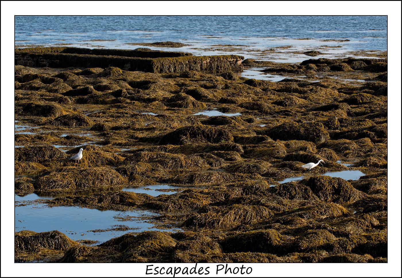 Goéland et aigrette et haricots de mer