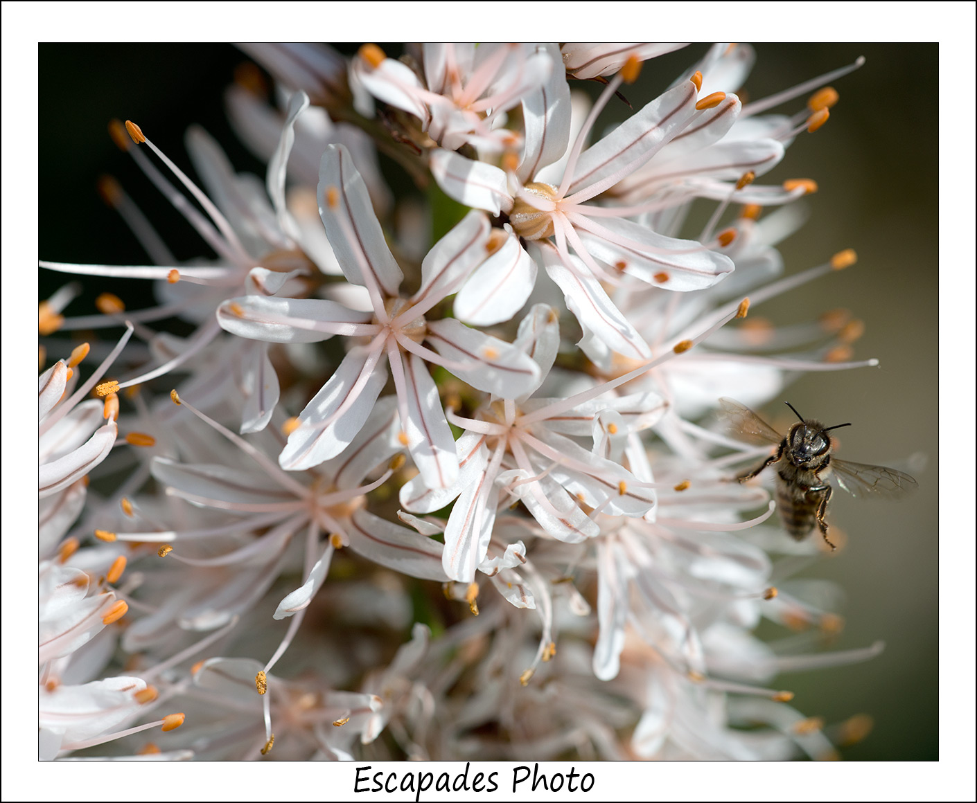 Asphodèle et abeille