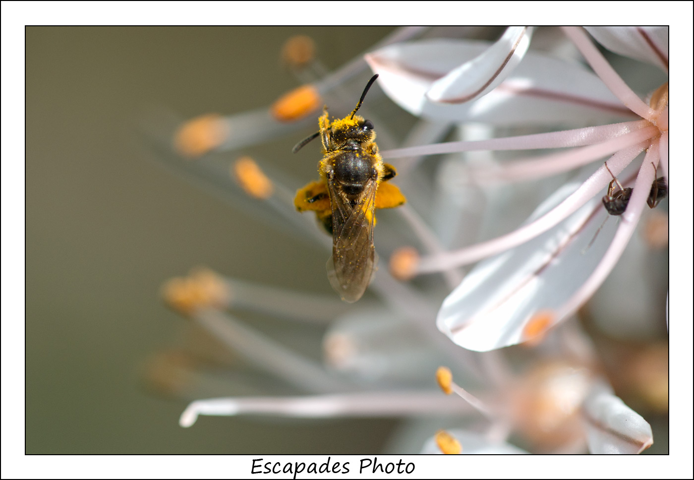 abeille sauvage sur asphodèle