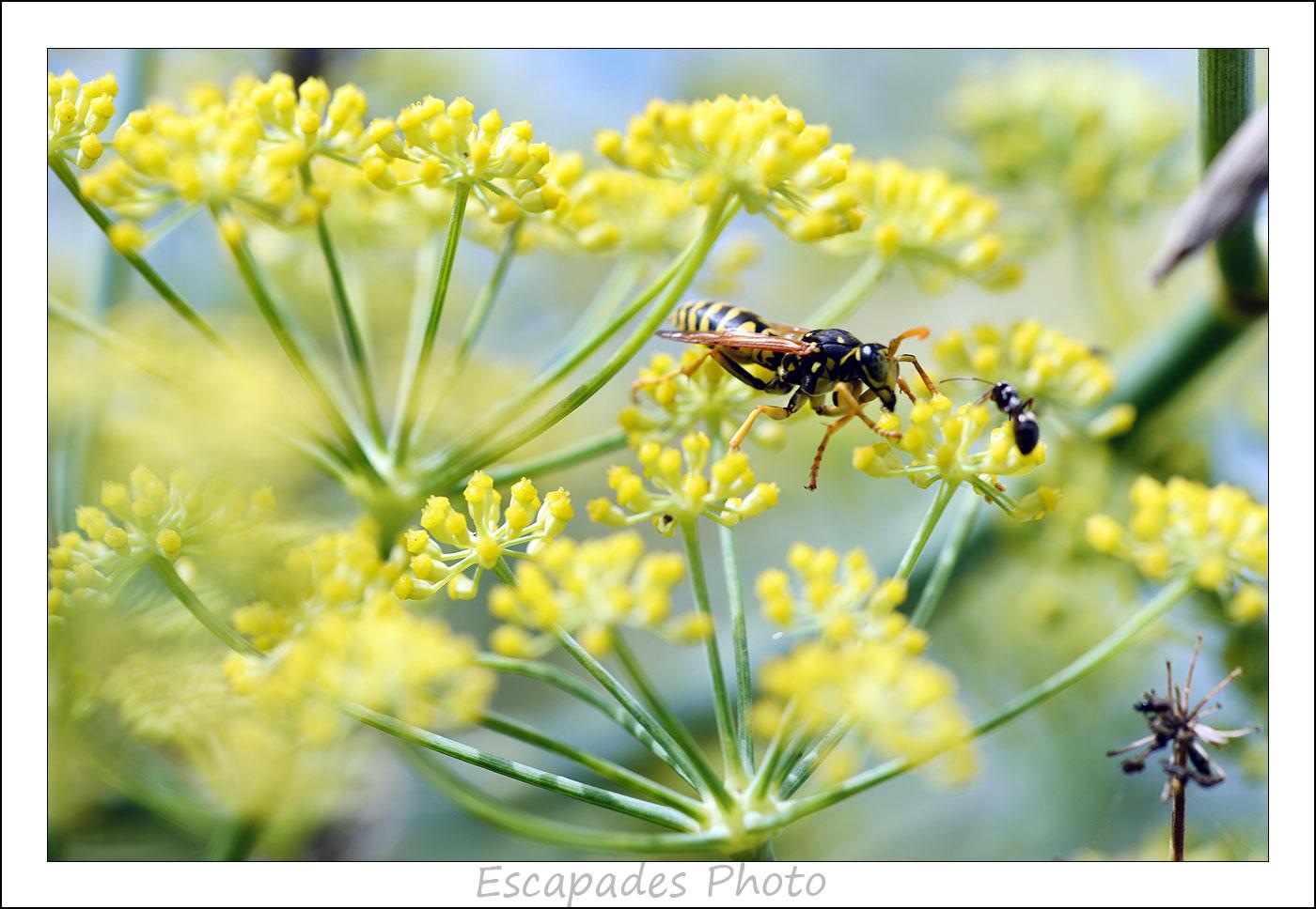 Fenouil commun - guêpe du genre bembex et fourmi sur une ombelle