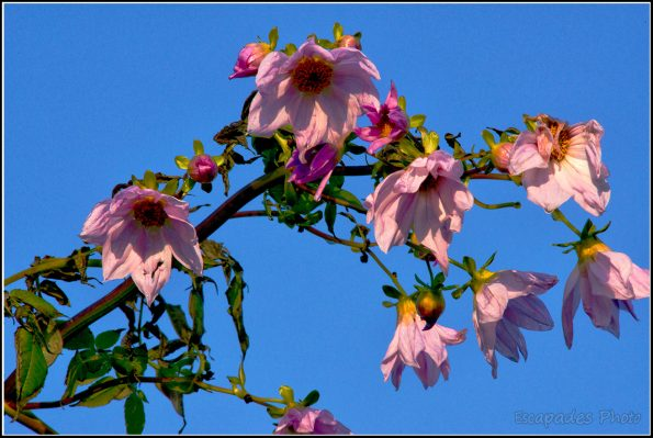 Dahlia Imperialis ou dahlia arborescent au port impérial