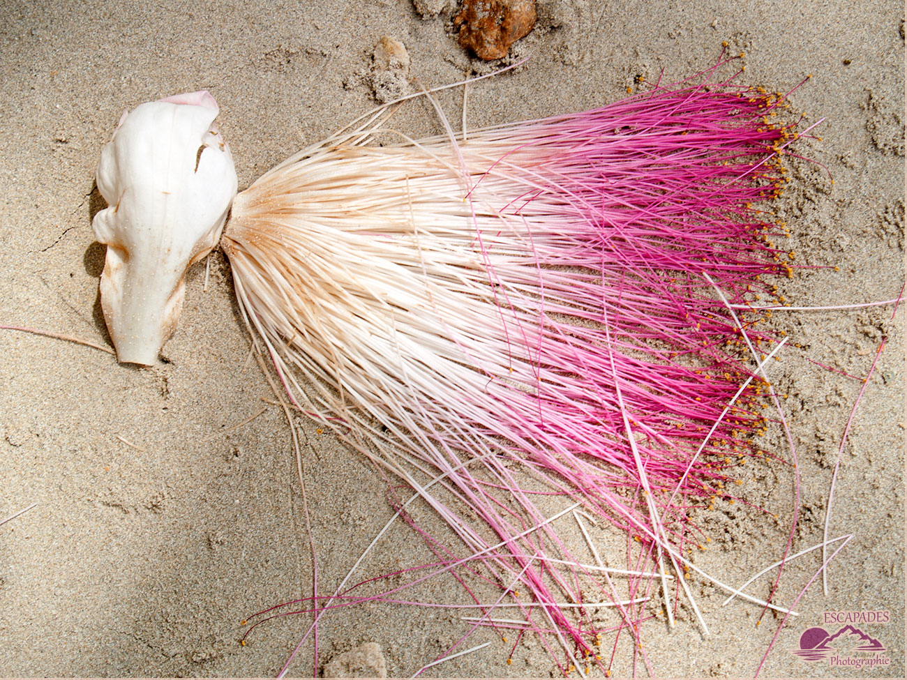Coquille de bénitier et fleur d'albizia sur une plage à El Nido